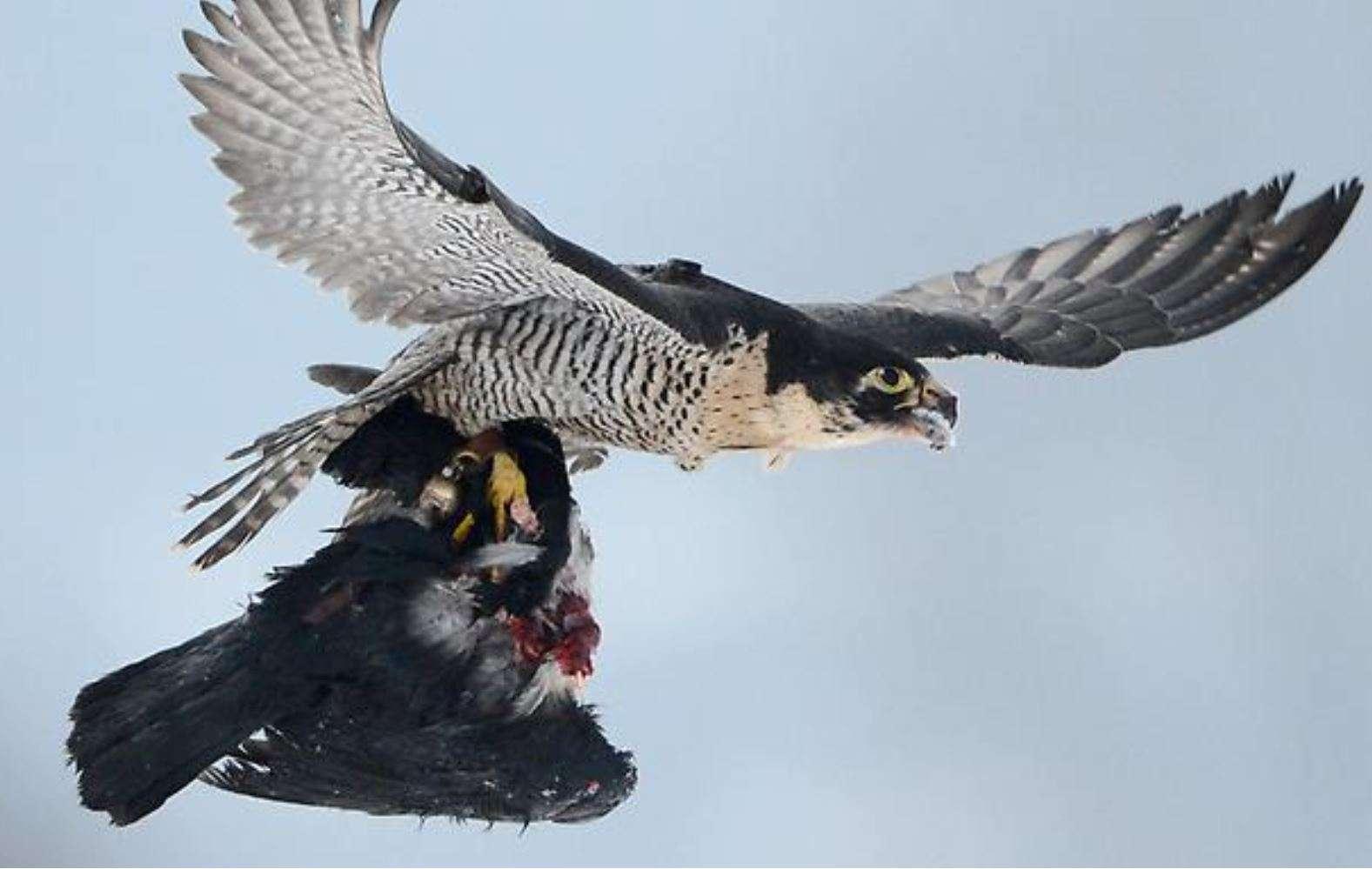 Dënohet pëllumbaxhiu kosovar  Përdori pëllumbin për të helmuar një skifter