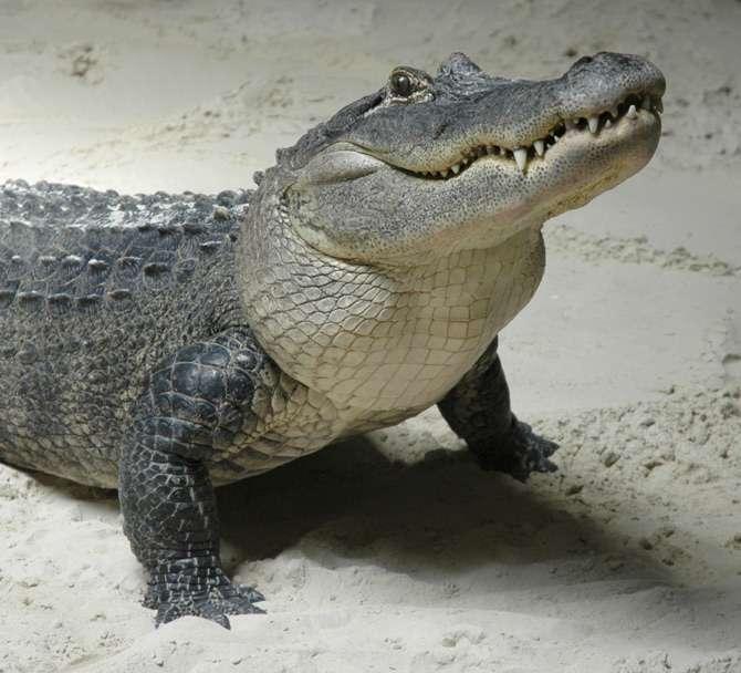 Një krokodil në liqenin Hallvilersee të Zvicrës